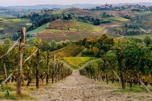 Langhe wineyard