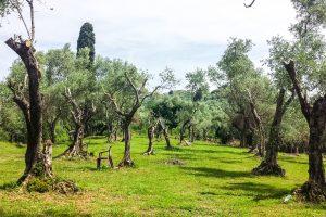 Olive grove_Tuscany